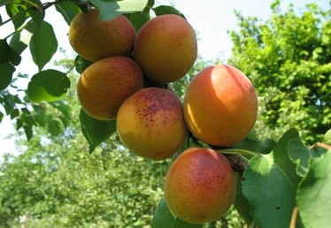 How to Prune Apricot Trees in California
