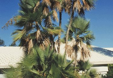 How to Prune a Date Palm
