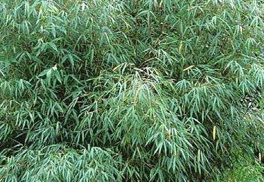 How to Trim Bamboo Plants