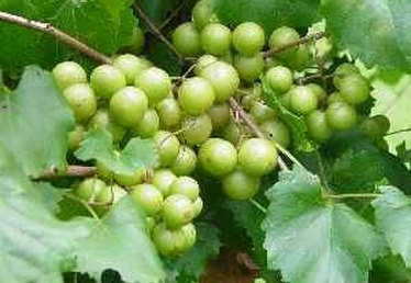 How to Grow Scuppernong