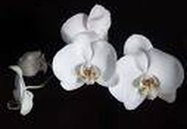 What Are White Orchids?