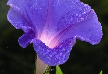 How to Plant Morning Glory Seeds