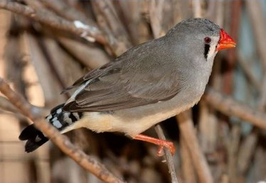 About Zebra Finches