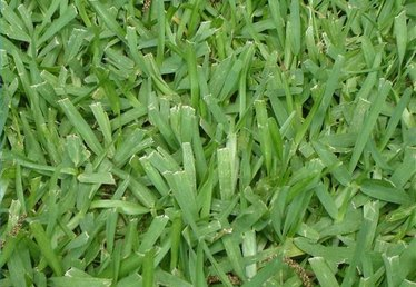 How to Kill Bermuda Grass in St Augustine Grass