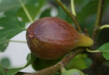 How to Transplant Fig Trees