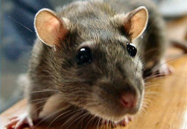 Rat Control Home Remedies