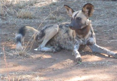 About Wild Dogs