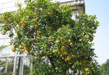 When to Plant an Orange Tree