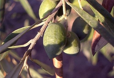 Fertilizing Olive Trees