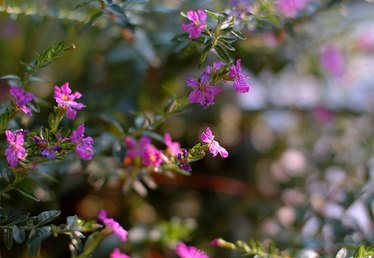 How to Care for Mexican Heather in Winter