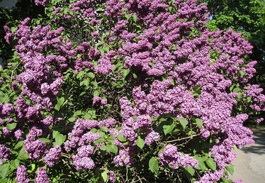 How to Care for Lilac Bushes