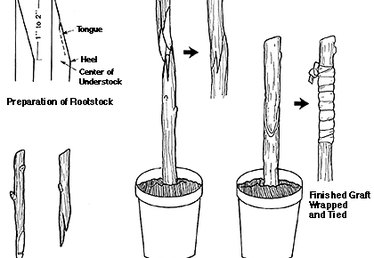 How to Graft Fig Trees
