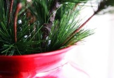 What Kind of Pine Trees Are Good in Containers?