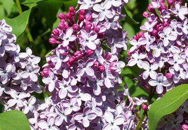 Lilac Bush Growth Rate
