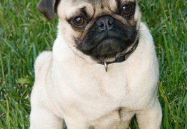 Male Vs. Female Pug Characteristics