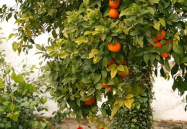 The Best Time to Plant Citrus Trees