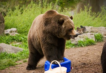 How Do Grizzly Bears Get Food?
