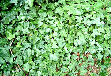 How to Care for English Ivy in the Winter