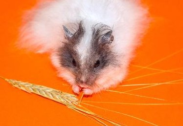 Differences Between Hamster & Guinea Pig Food
