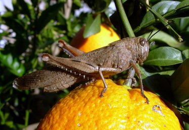What Repels Grasshoppers & Locusts?