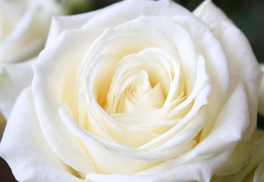 What Is the Meaning of White Roses on Valentine's Day?