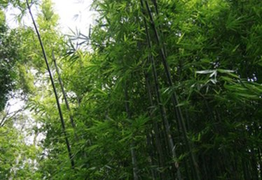 How To Plant Bamboo in Texas