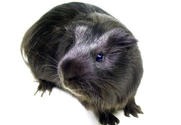Homeopathic Treatment for Mange in Guinea Pigs