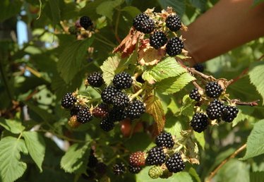 How to Feed Blackberry Bushes
