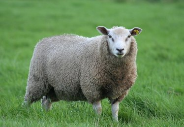 Problems With Sheep Ears