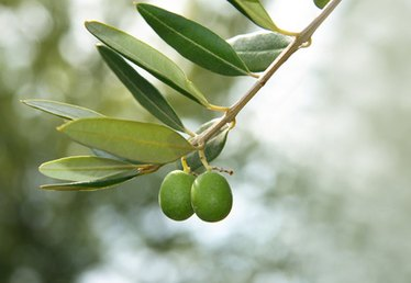 How to Harvest From Olive Trees