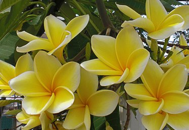 How to Make Plumeria Cuttings