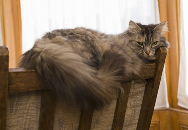 How to Remove Matted Hair on a Maine Coon
