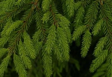 How to Prune a Bird's Nest Spruce