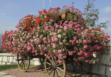 How to Fertilize Geraniums
