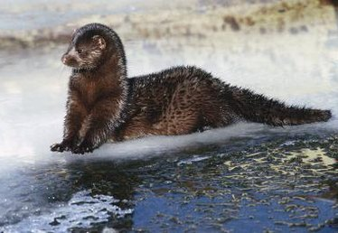 A Comparison of a Muskrat Fur Coat to a Mink