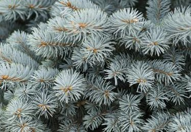 How to Plant a Blue Spruce in a Container