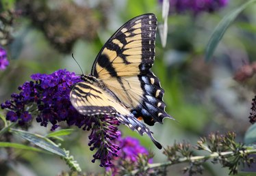 How to Prune Butterfly Bushes