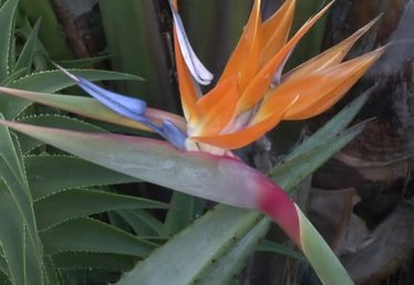 How to Prune a Bird of Paradise