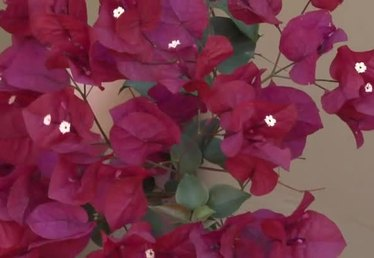 How to Use Bougainvillea for Flower Landscaping