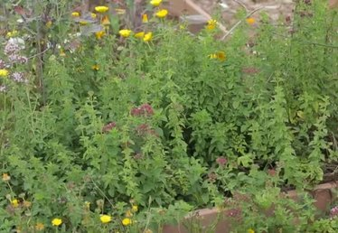 How to Propagate New Plants From Stem Cuttings of Oregano