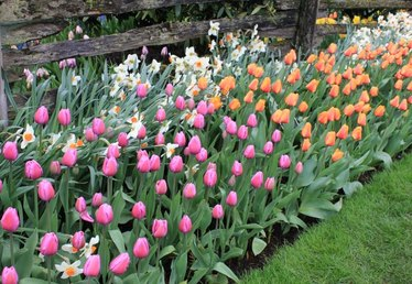 Plant Tulip Bulbs Now for Spring Color