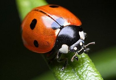 How to Release Ladybugs Into a Garden