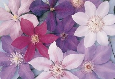 How to Collect Seeds From Clematis