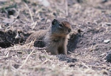 How to rid your yard of those pesky GOPHERS