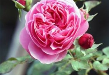 How to Grow Climbing Roses in Pots