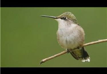 What Is the Life Expectancy of a Hummingbird?