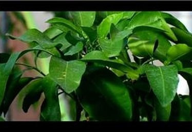 How to Care for Orange Trees