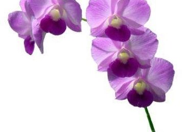 How to Care for Fresh Cut Dendrobium Orchids