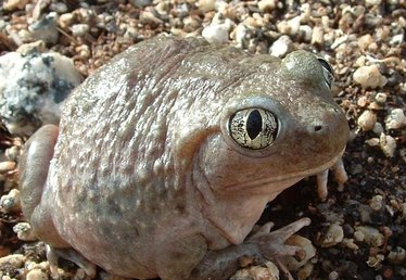 Spadefoot Toad Life Cycle