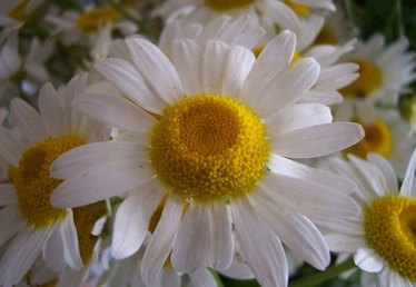 How to Plant Daisy Seeds